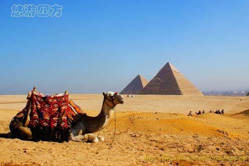 埃及巍巍金字塔下的神气大骆驼-邢台网-邢台日报社