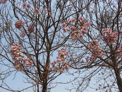 /enpproperty--> 梧桐树在北方极常见极普通的一种树,梧桐生长快,木材适合制造乐器,老百姓赋予她很吉祥的含义。中国古代传说凤凰非梧桐不栖。许多传说中的古琴都是用梧桐木制造的,梧桐对于中国文化有重要的作用。作家丰子恺的同名文章《梧桐树》堪称佳篇。梧桐已经被引种到欧洲、美洲各地作为观赏树种。