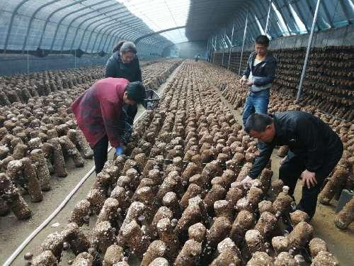 临城赵庄乡店上村香菇财富越做越大,成为脱贫致富的好项目